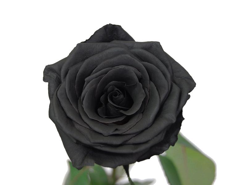 d31483c60ad1 Rose noire symbole   Journalphoto